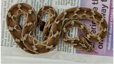 Poisonous Snakes in India: भारतातील विषारी फुरसे  साप Shipping Container च्या माध्यमातून इंग्लंडला पोहोचला