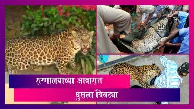 Leopard Captured in Wardha, Maharashtra: वर्ध्यात रुग्णालयाच्या आवारात घुसला बिबट्या; तब्बल 6 तासानंतर पकडण्यात आले यश
